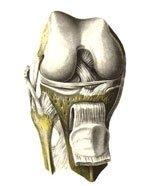 В образовании коленного сустава, articulatio genus, принимают участие...